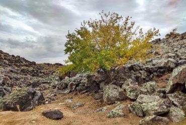 درخت در بین سنگ های آذرین
