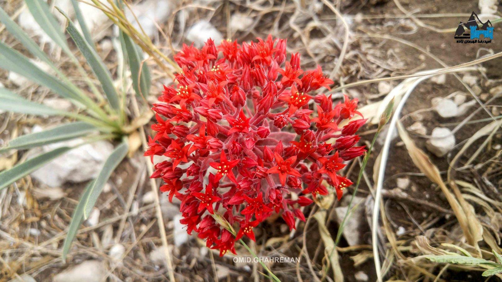 گلی زیبا از ساکولنت ها در قارلی داغ ماکو