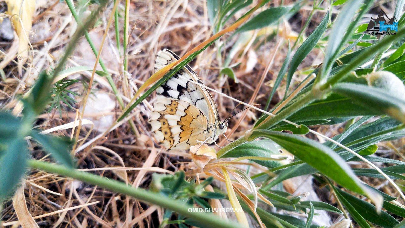 پروانه در قارلی داغ