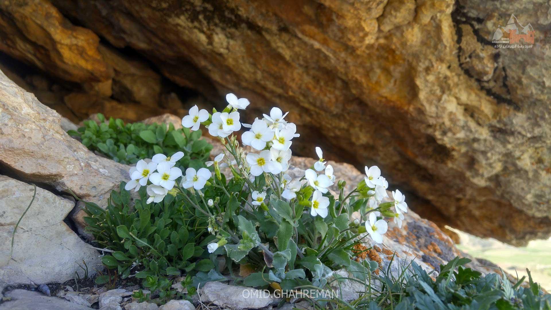 گلهای زیر سنگی قره خاچ
