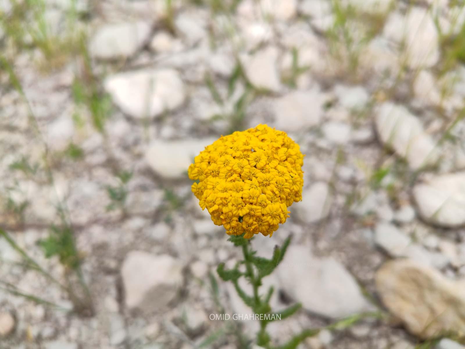 گل زیبا و دارویی بوی مادران