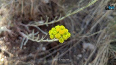 گل های ماکو از خانواده اسفنتین