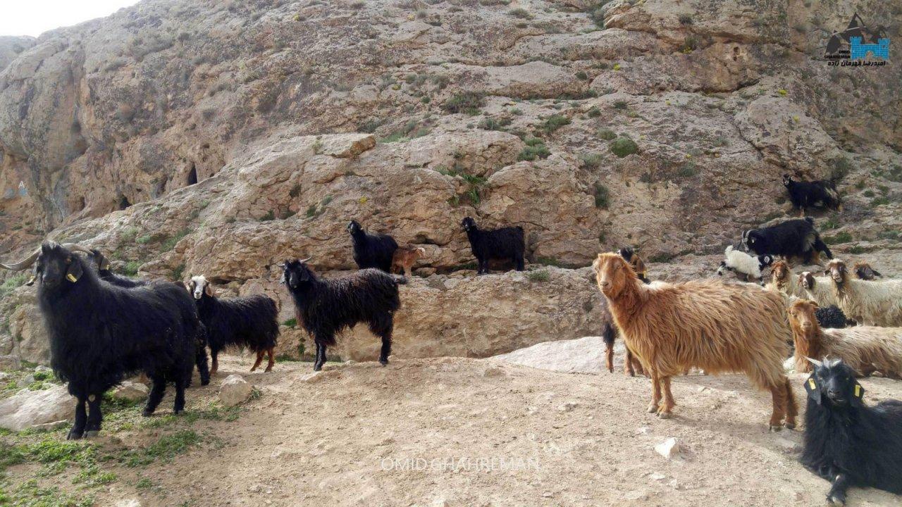 گوسفندان در دره قوزلو ماکو