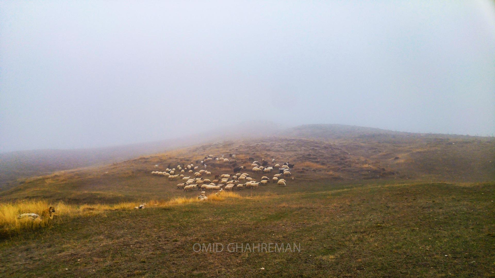 هوای مه آلود و گوسقندان در حال چرا در کوه مورس