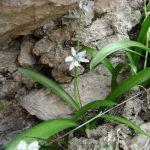 گل زیر سنگی